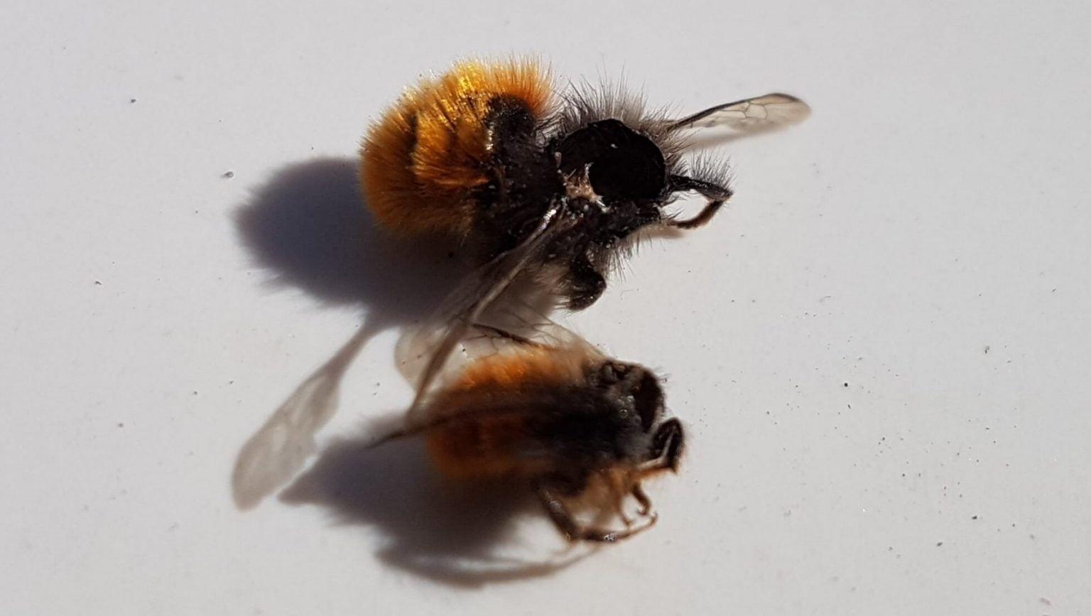 Rostrote Mauerbienen (Osmia bicornis) ohne Kopf durch Wespenschaden