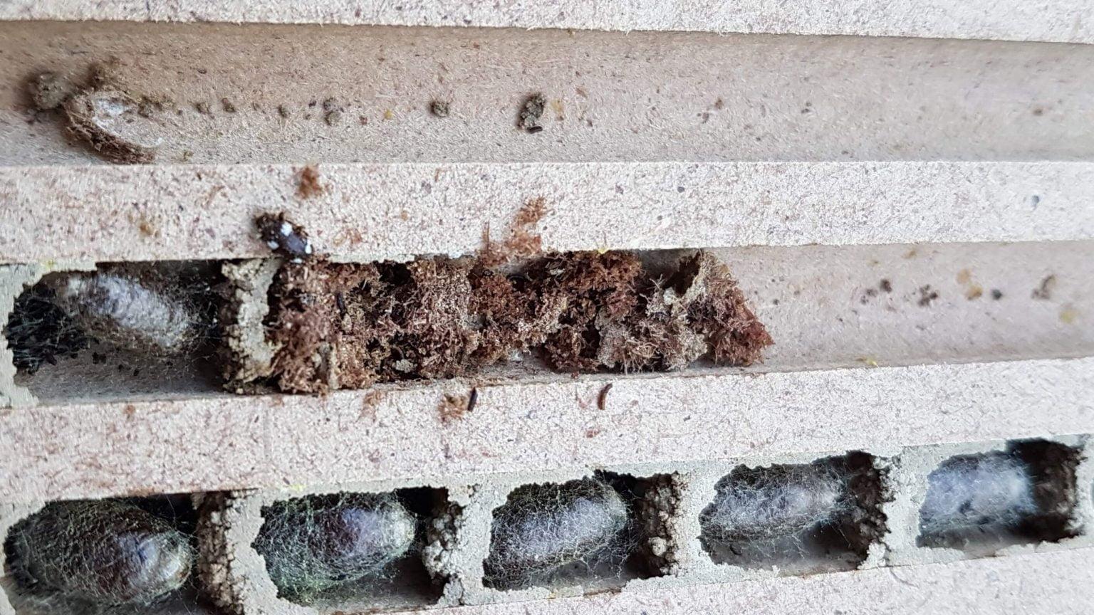 Nistbrett mit Kokons der Rostroten Mauerbiene (Osmia bicornis) und Kugelkäfer