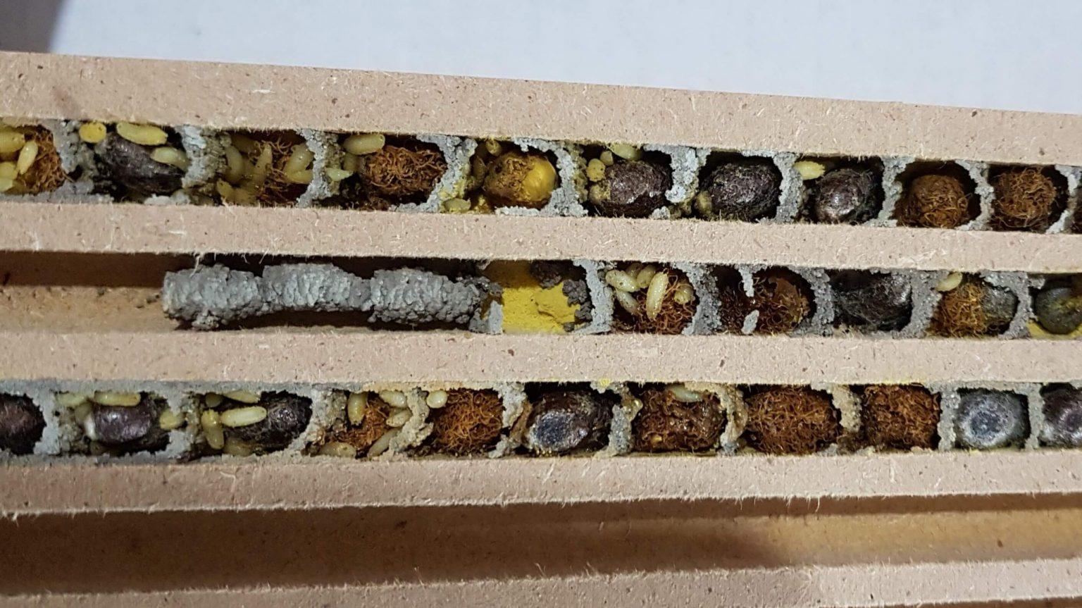 Brutzellen der Mauerbienen parasitiert mit Taufliegenmaden