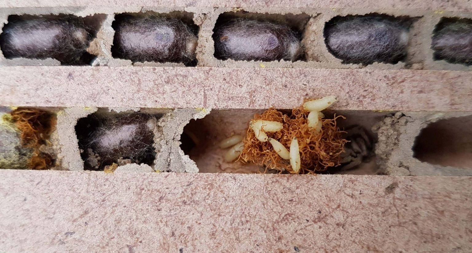 Taufliegen in Brutzellen der Mauerbienen