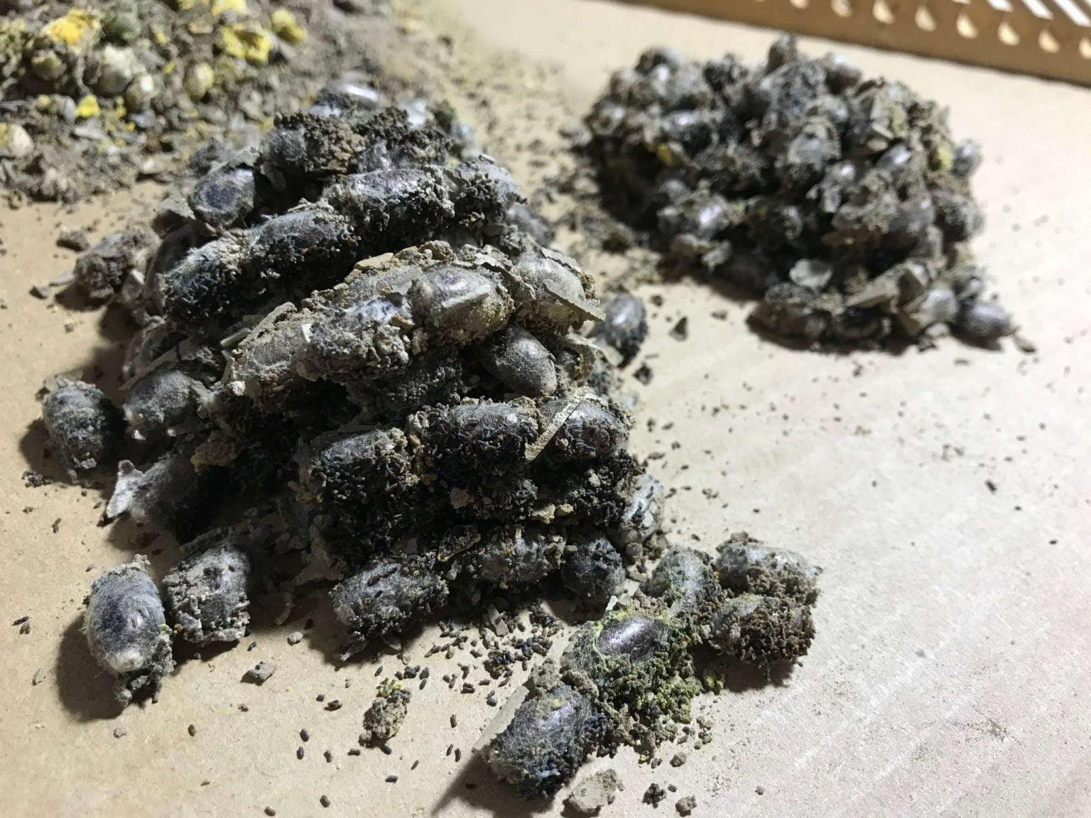 Ungewaschene Mauerbienenkokons mit Kot und Lehm; Rostrote Mauerbiene Osmia bicornis