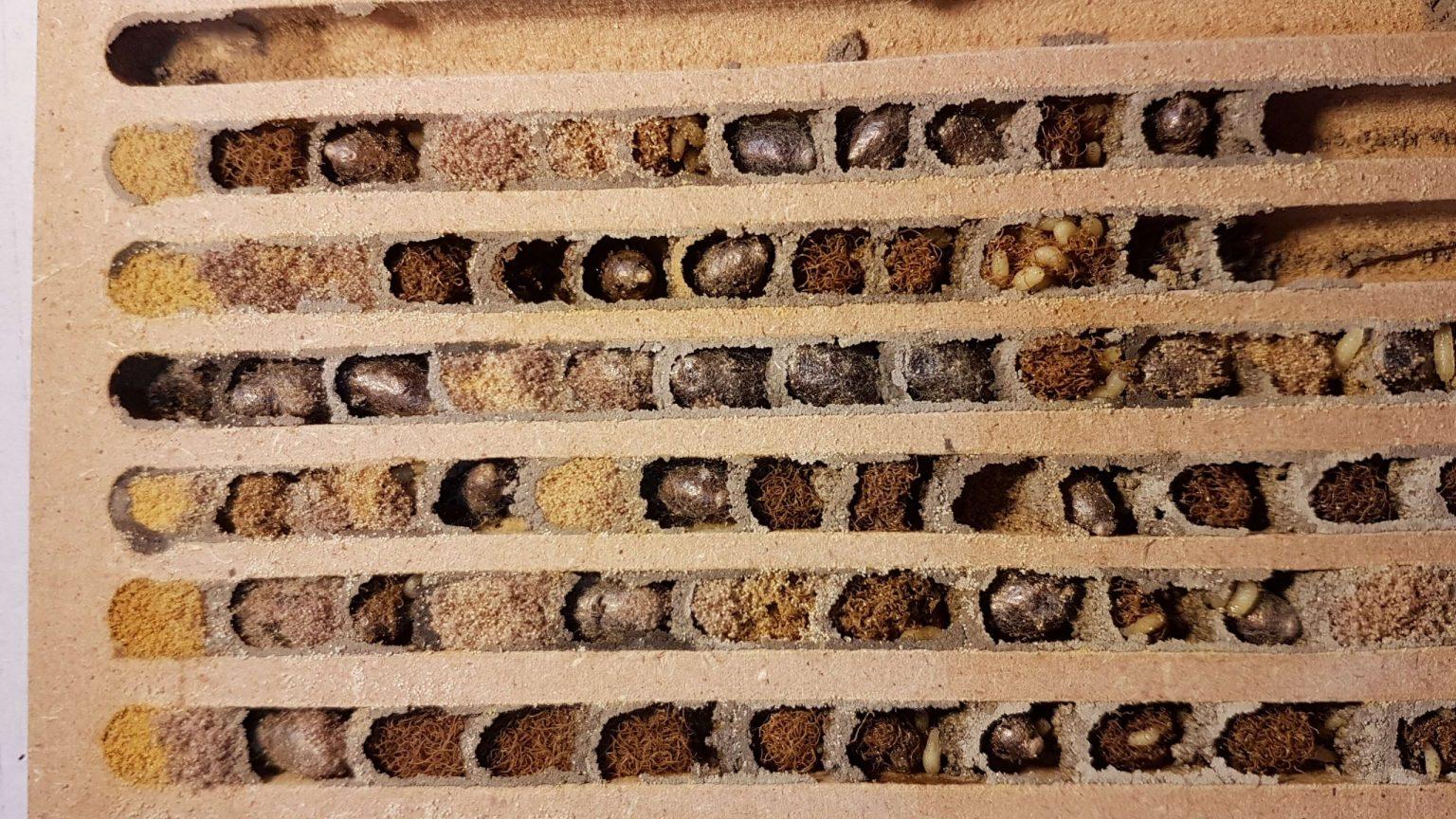 Nistbrett mit Kokons der Rostroten Mauerbiene (Osmia bicornis) parasitiert von Milben und Taufliegen