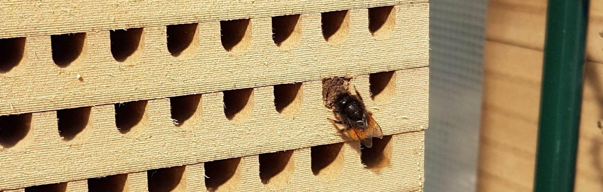 Nestbau Gehörnte Mauerbiene (Osmia cornuta) verschließt Nistgang mit Lehm