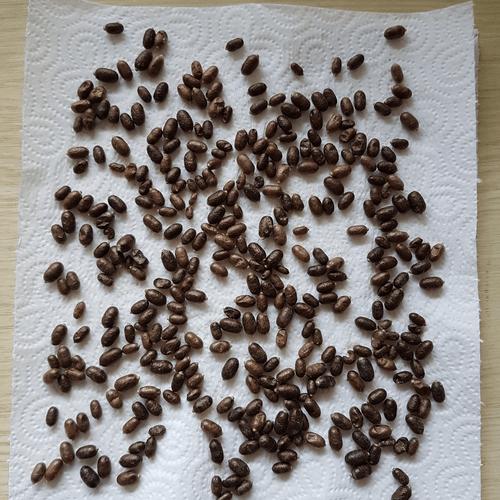 Kokons Rostrote Mauerbiene (Osmia bicornis) reinigen ueberwintern trocknen