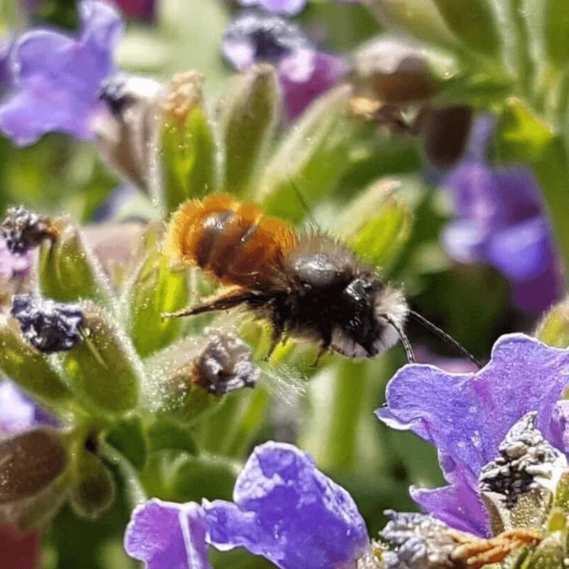 Gehörnte Mauerbiene Flug Lungenkraut