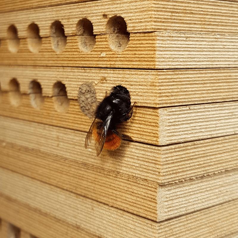 Gehörnte Mauerbiene verschließt Nest