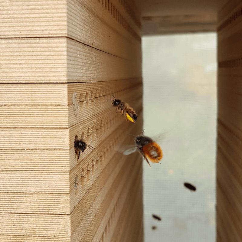 Mauerbienen an Nisthilfe