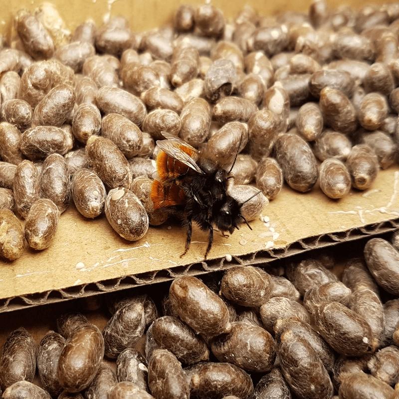 Paarung Gehörnte Mauerbienen, Hintergrund Kokons Rote Mauerbienen