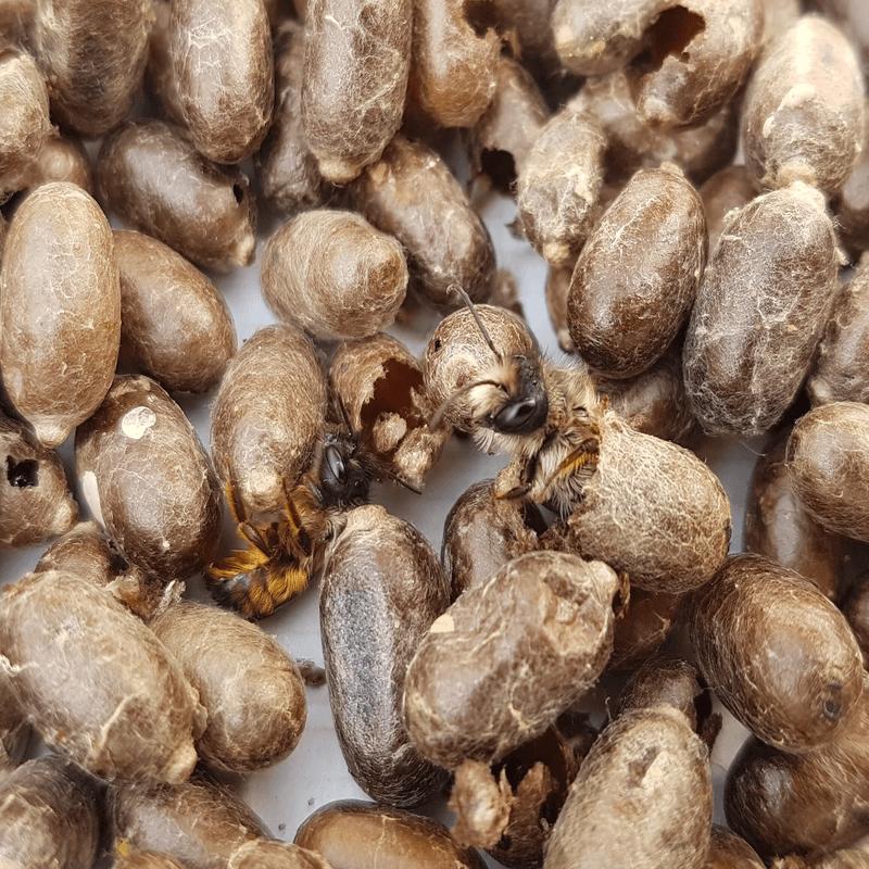 Rote Mauerbienen schlüpfen aus Kokon osmia bicornis
