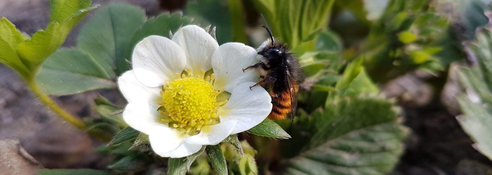 bestaeubung gehörnte-mauerbiene-an-erdbeerblüte