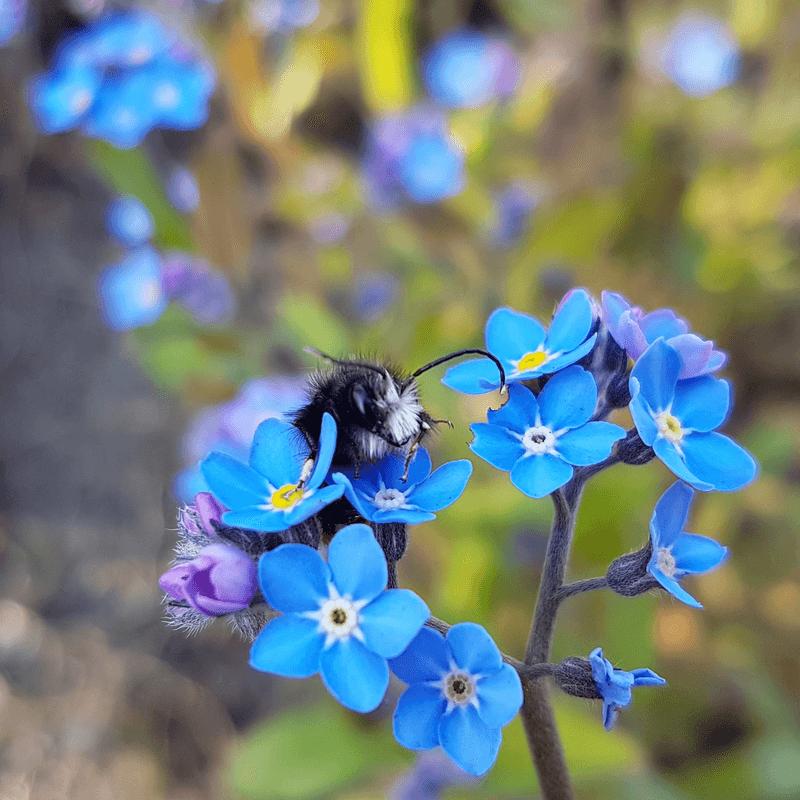 gehörnte mauerbiene vergissmeinnicht