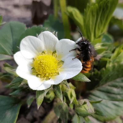 bestaeubung gehörnte mauerbiene erdbeerblüte