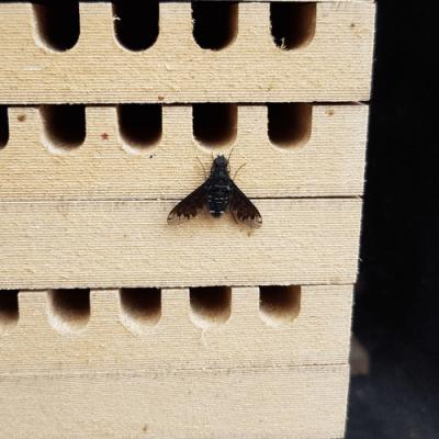 Nestbau Schaedlinge Trauerschweber an Rostroten Mauerbiene (Osmia bicornis) Nisthilfe