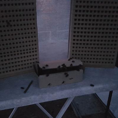 Schlupf Gehörnte Mauerbienen bei Morgengrauen an Niststand